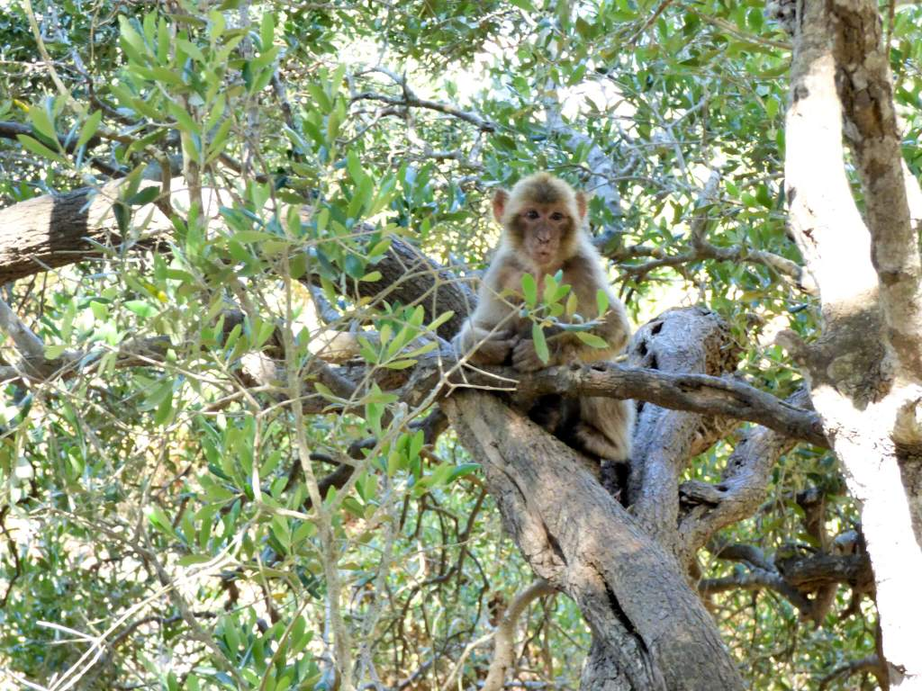 makaki na Gibraltarze - wycieczka na Gibraltar