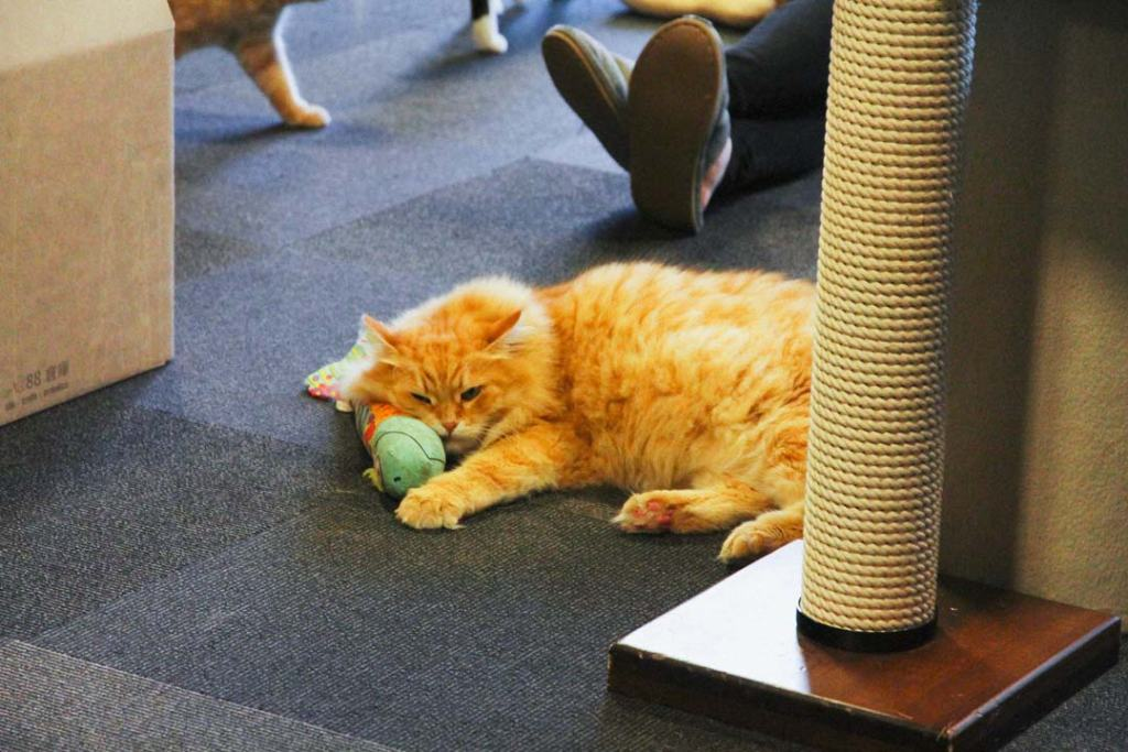 Orange cat with kick toy