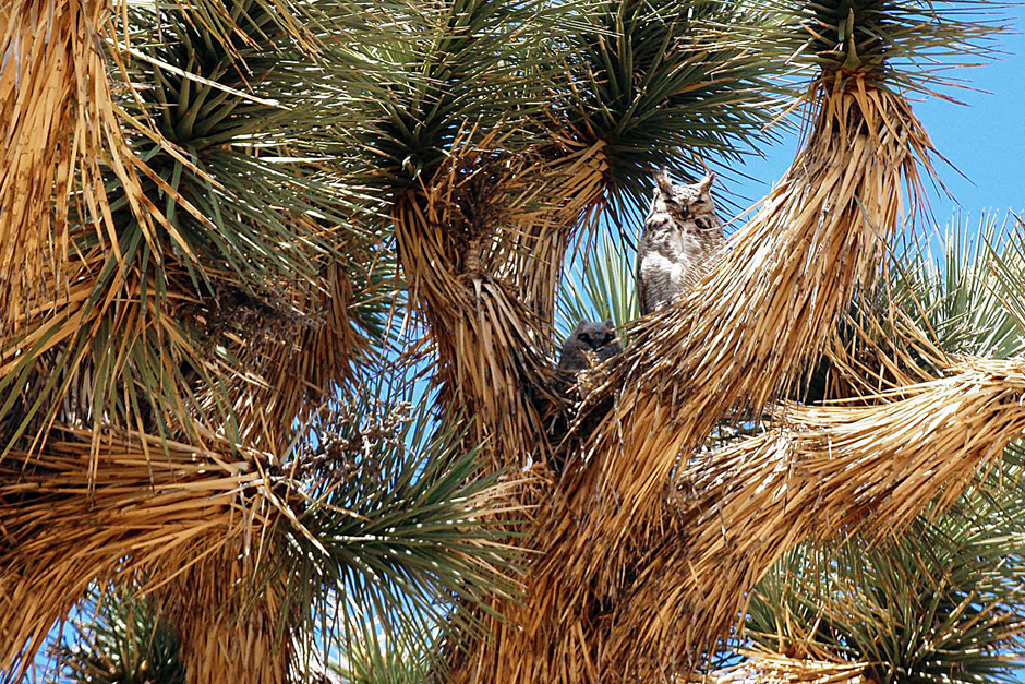 Joshua Tree National Park Owl