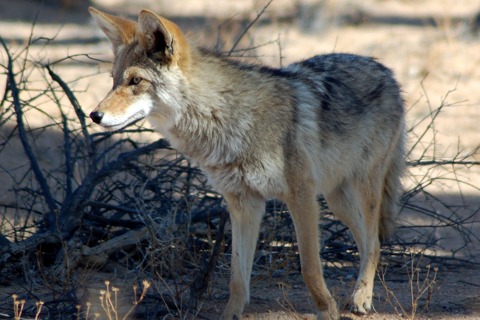 Coyote in Joshua Tree National Park