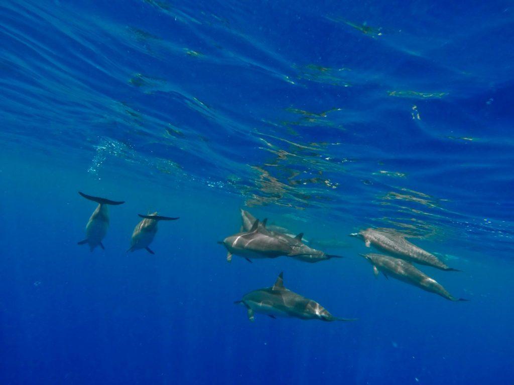 Dolphins on the Big Island, Which Hawaiian Island? Big Island
