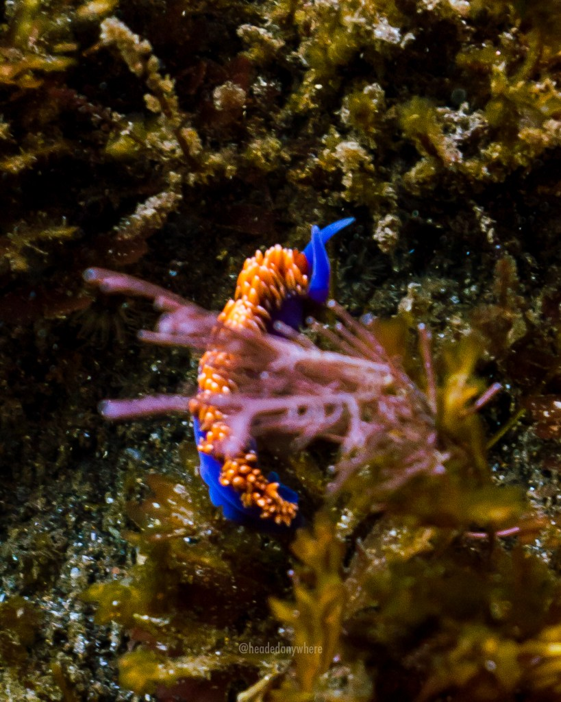 Purple and Orange Spanish Shawl Nudibranch on seagrass