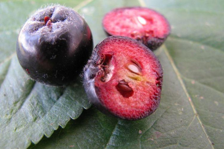 Арония всемогущая: трудно найти болезнь, с которой бы не справилась черноплодная рябина