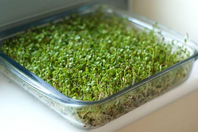Как пророщенные ростки брокколи помогают бороться с раком