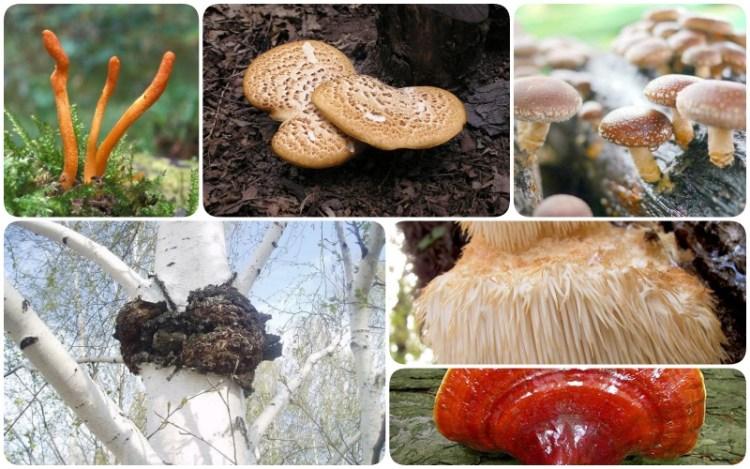 Лечебные грибы относятся к съедобным. Но их основное предназначение – быть лекарством. Как с их помощью укрепляется иммунная система, останавливаются воспалительные процессы, отступают многие серьезные неврологические проблемы, узнайте из статьи.