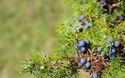 Everything you need to know about juniper