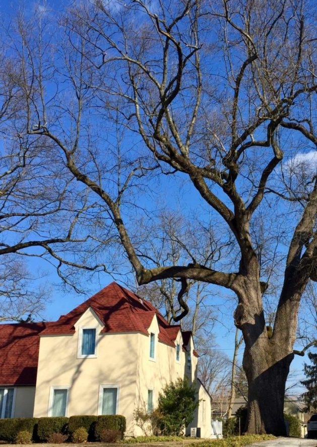 Black Walnut tree—Philipse Manor