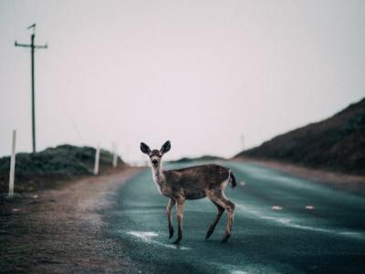 deer caught in headlights