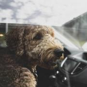 dog safety in the car