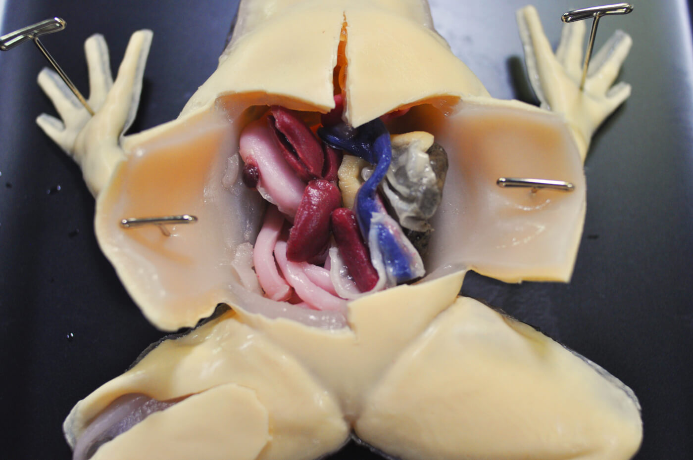 This Is The Future Of Frog Dissection