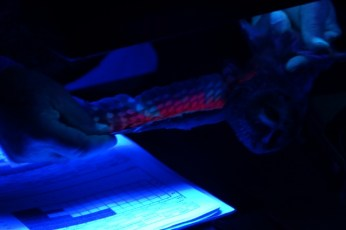 The bioluminescence on the underside of the wing is revealed with ultraviolet lighting.