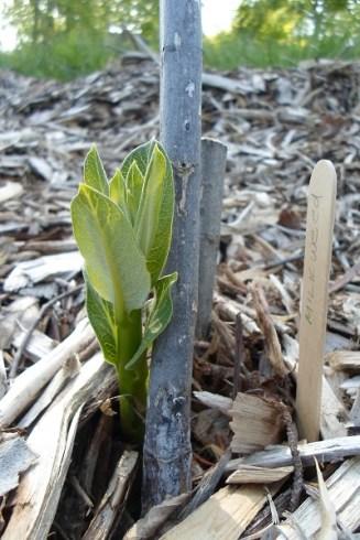 Milkweed sprout