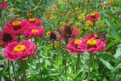 Monarch enjoying the zinnia.