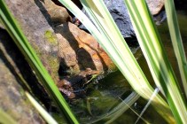 Green frog on the edge of the pond.