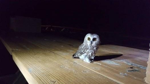 Northern Saw-whet Owl. Photo by Kim McCray.