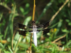 Common whitetail dragonfly. Photo credit Cheryl Shull.