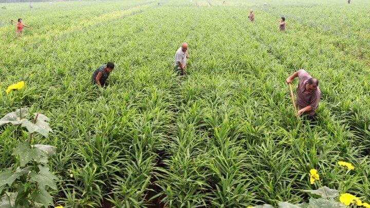 фото: выращивание имбиря в промышленных масштабах