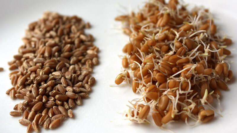 проращивание-пшеницы