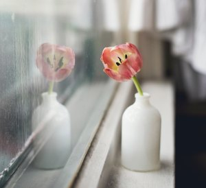 Tulip facing a window with rain on it