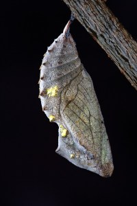 Silver and gold chrysalis on black background