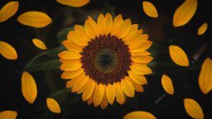 small sunflower dark background