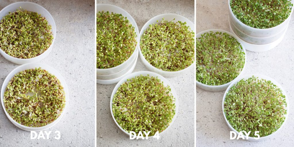 Grow Broccoli Sprouts - Healing Family Eats