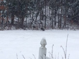 turkeys making their way into our woods