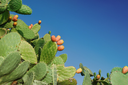prickly pear cactus with blue sky background