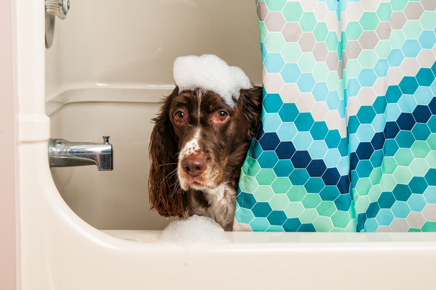 springer spaniel dog in the bath tub
