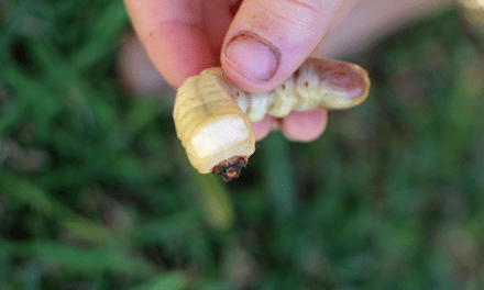 Eating Witchetty Grubs – RAW!