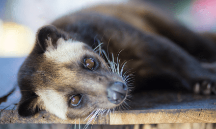 Civet Cat VS Luwak Coffee