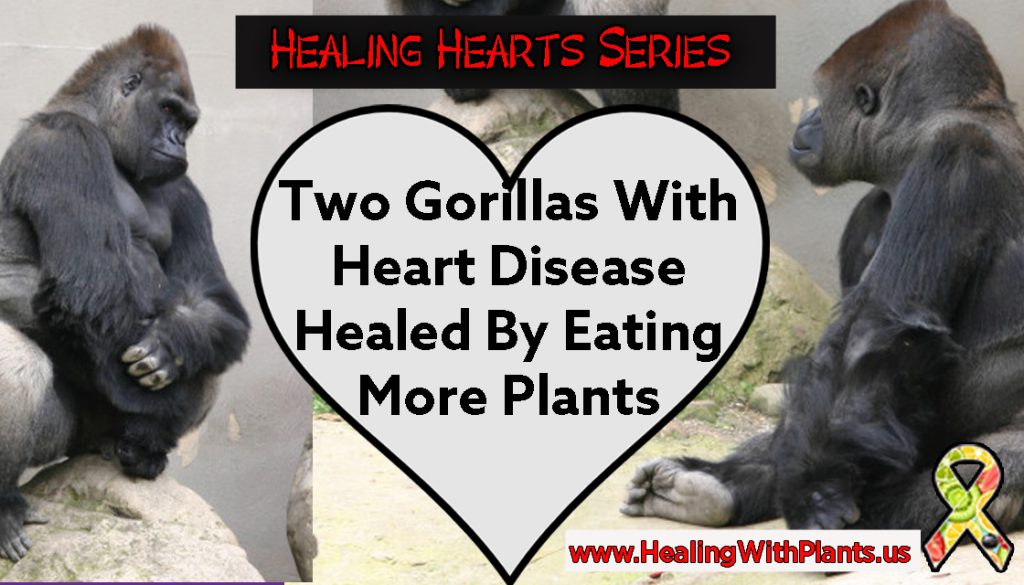healing heart disease gorillas xebec kokomo