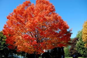 sugar maple tree picture