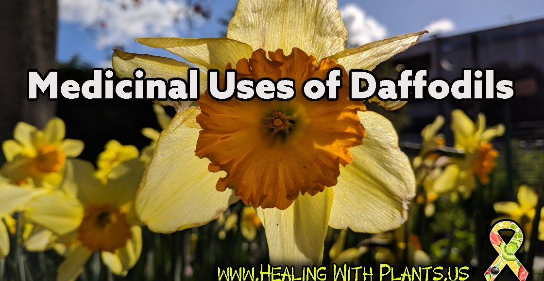 The Medicinal Uses of Daffodils