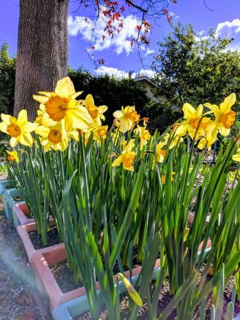 Daffodil contains medicinal components.