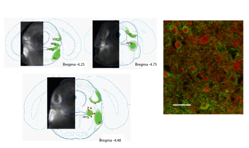 Expression pattern of CamK2-ChR2-YFP viral transfection.  A) Extent of viral expression of CamK2-ChR2-eYFP in the mesencephalic motor locomotor region.  The extent of the largest infection is represented in light green whereas the extent of the smallest injection is in darker green.  Red dots indicate the tip of the optical fibre used to stimulate the MLR.  B)  Confocal image of neurons infected with AAR2/5-CamK2-ChR2-YFP (green) in a VGlut2-tdTomato (red) mouse, showing preferential expression of ChR2 in excitatory neurons.  Scale bar 25 microns.  Niell et al 2014.