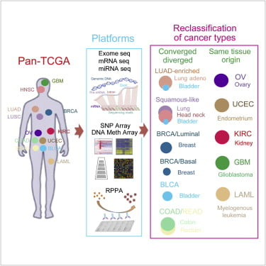 """Graphical Abstract:  Multiplatform Analysis of 12 Cancer Types Reveals Molecular Classification within and across Tissues of Origin.  Recent genomic analyses of pathologically defined tumor types identify """"within-a-tissue"""" disease subtypes. However, the extent to which genomic signatures are shared across tissues is still unclear. We performed an integrative analysis using five genome-wide platforms and one proteomic platform on 3,527 specimens from 12 cancer types, revealing a unified classification into 11 major subtypes. Five subtypes were nearly identical to their tissue-of-origin counterparts, but several distinct cancer types were found to converge into common subtypes. Lung squamous, head and neck, and a subset of bladder cancers coalesced into one subtype typified by TP53 alterations, TP63 amplifications, and high expression of immune and proliferation pathway genes. Of note, bladder cancers split into three pan-cancer subtypes. The multiplatform classification, while correlated with tissue-of-origin, provides independent information for predicting clinical outcomes. All data sets are available for data-mining from a unified resource to support further biological discoveries and insights into novel therapeutic strategies.  Perou et al 2014."""