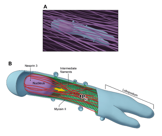 Model: pressurization of lobopodia by the nuclear piston during the 3D migration of primary human fibroblasts (shown in A).  B.  Nesprin 3 connects the nucleus to intermediate filaments and actomyosin contractility. These connections help pull the nucleus forward to pressurize the forward cytoplasmic compartment and sustain high-pressure lobopodia-based 3D motility.  Generation of compartmentalized pressure by a nuclear piston governs cell motility in a 3D matrix.  Yamada et al 2014.