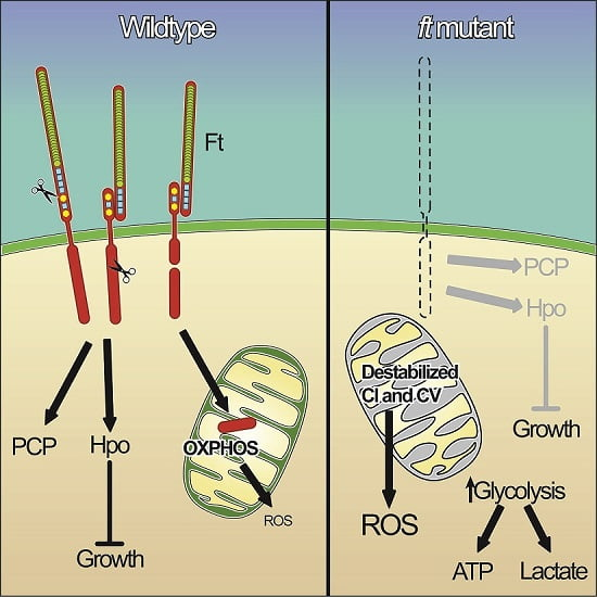 In normal cells, such as the image on the left, a piece of the Fat protein is processed and delivered into the mitochondria where it influences the energy status of the cell. In mutated cells, this particular component is missing, causing the energy generating pipeline inside mitochondria to become destabilized, and leading to loss of energy production.  Credit:  Dr. Helen McNeill, Lunenfeld-Tanenbaum Research Institute.
