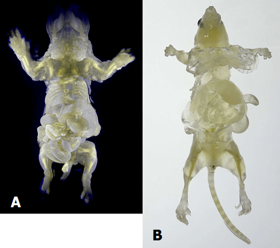 These pictures released from Japanese research institute Riken shows (A)  Decolorized mouse body and some organs glowing with fluorescence protein at the Riken laboratory and (B)  Decolorized mouse body at the Riken laboratory.  © Provided by AFP.
