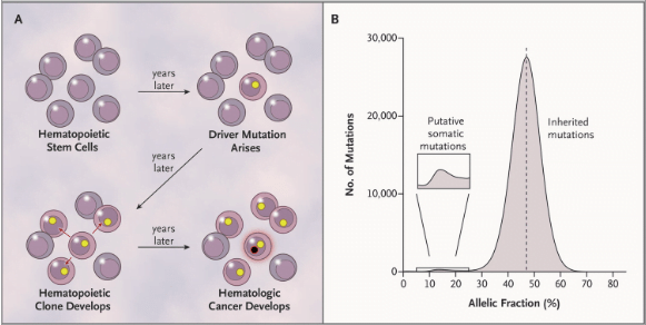 Panel A shows a model for the expansion of a single hematopoietic stem cell into a clonal population, under the influence of a somatic mutation (yellow circle), and the potential conversion of the clone into a hematologic cancer through subsequent mutation (black circle with red rim). Mutations present in the founder cell would be present at an appreciable allelic fraction (though <50%) in blood-derived genomic DNA. Panel B shows the distribution of allelic fractions observed in sequencing data for high-confidence, ultra-rare variants ascertained in the 12,380 study participants; the small bump at the left of this distribution represents putative somatic mutations.  Clonal Hematopoiesis and Blood-Cancer Risk Inferred from Blood DNA Sequence.  McCarroll et al 2014.