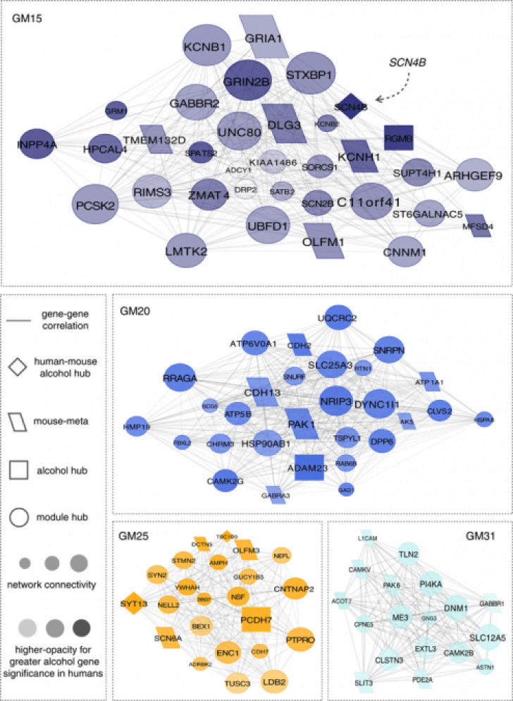 Network diagrams for group 1 gene coexpression modules associated with lifetime alcohol consumption. Visualization demonstrates the interconnection of genes for the top 10% of module members with  r=0.80  correlation strength. Relative size of the depicted networks is based on the size of the four modules. Size of the nodes reflects the module connectivity ranking for individual genes. The degree of node opacity is proportional to the correlation with lifetime consumption, with alcohol hubs defined as those genes within the top 10% of alcohol-associated genes in our human sample. Networks were further overlapped using a prior meta-analysis of alcohol-drinking behavior in mice45 to identify potential points of convergent validity in rodent models.  Transcriptome organization for chronic alcohol abuse in human brain.  Mayfield et al 2014.
