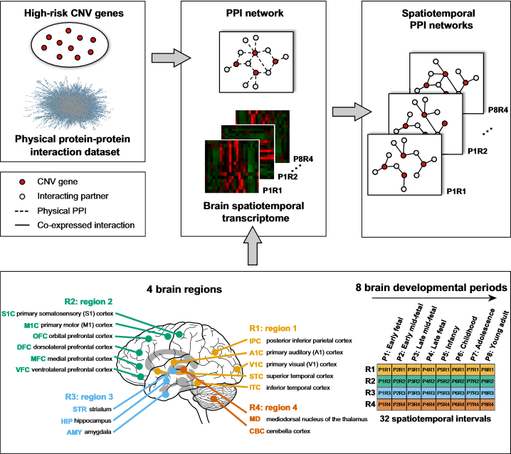 Spatiotemporal Protein-Protein Interaction Network Construction.  Spatiotemporal PPI networks were constructed by integrating physical protein-protein interaction data with the brain spatiotemporal transcriptome. The connections (solid black lines) between CNV proteins (red circles) and their interacting partners (gray circles) within the spatiotemporal PPI networks were drawn only when two proteins were co-expressed and interacting physically (dashed black lines). Four brain regions (R1, yellow; R2, green; R3, blue; R4, orange) and eight brain developmental periods (P1–P8) were integrated to build 32 spatiotemporal PPI networks for each CNV region.  Spatiotemporal 16p11.2 Protein Network Implicates Cortical Late Mid-Fetal Brain Development and KCTD13-Cul3-RhoA Pathway in Psychiatric Diseases.  Lakoucheva et al 2015.