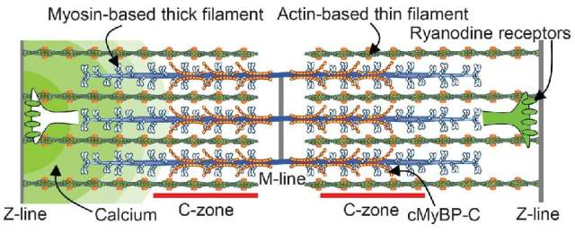 Sarcomeric organization and MyBP-C.   Cardiac muscle sarcomere with interdigitating thick and thin filaments. MyBP-C localized to the C-zone, whereas the ryanodine receptors are localized in puncta (CRUs) along the Z-lines, forming the boundaries of each sarcomere.  Myosin-binding protein C corrects an intrinsic inhomogeneity in cardiac excitation-contraction coupling.  Warshaw et al 2015.