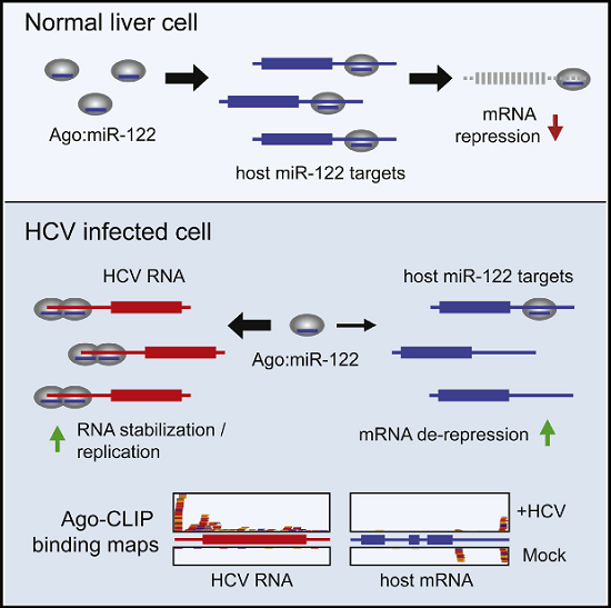 """Hepatitis C virus (HCV) uniquely requires the liver-specific microRNA-122 for replication, yet global effects on endogenous miRNA targets during infection are unexplored. Here, high-throughput sequencing and crosslinking immunoprecipitation (HITS-CLIP) experiments of human Argonaute (AGO) during HCV infection showed robust AGO binding on the HCV 5′UTR at known and predicted miR-122 sites. On the human transcriptome, we observed reduced AGO binding and functional mRNA de-repression of miR-122 targets during virus infection. This miR-122 """"sponge"""" effect was relieved and redirected to miR-15 targets by swapping the miRNA tropism of the virus. Single-cell expression data from reporters containing miR-122 sites showed significant de-repression during HCV infection depending on expression level and site number. We describe a quantitative mathematical model of HCV-induced miR-122 sequestration and propose that such miR-122 inhibition by HCV RNA may result in global de-repression of host miR-122 targets, providing an environment fertile for the long-term oncogenic potential of HCV.  Hepatitis C Virus RNA Functionally Sequesters miR-122.  Darnell et al 2015."""