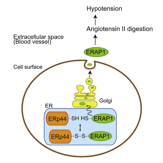 Blood pressure maintenance is vital for systemic homeostasis, and angiotensin II is a critical regulator. The upstream mechanisms that regulate angiotensin II are not completely understood. Here, we show that angiotensin II is regulated by ERp44, a factor involved in disulfide bond formation in the ER. In mice, genetic loss of ERp44 destabilizes angiotensin II and causes hypotension. We show that ERp44 forms a mixed disulfide bond with ERAP1, an aminopeptidase that cleaves angiotensin II. ERp44 controls the release of ERAP1 in a redox-dependent manner to control blood pressure. Additionally, we found that systemic inflammation triggers ERAP1 retention in the ER to inhibit hypotension. These findings suggest that the ER redox state calibrates serum angiotensin II levels via regulation of the ERp44-ERAP1 complex. Our results reveal a link between ER function and normotension and implicate the ER redox state as a potential risk factor in the development of cardiovascular disease.  ERp44 Exerts Redox-Dependent Control of Blood Pressure at the ER.  Mikoshiba  et al 2015.