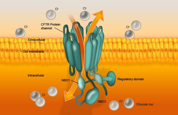 CFTR channels are found in the membrane of epithelial cells throughout the body, where they play a critical role in fluid and electrolyte transport.  The channels open and close in a dynamic process called 'gating' to transport chloride (Cl–) and other negatively charged ions out of epithelial cells. The flow of Cl– ions has a significant impact on the ionic balance and hydration of secretions in organs including the lung, liver, pancreas, digestive tract, reproductive tract, and skin.  CFTR.INFO © Copyright 2015 Facilitate Ltd.