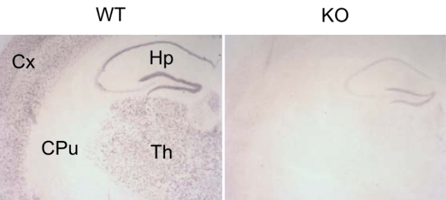 Single chromogenic GIRK3 in situ hybridization. High levels of GIRK3 expression were observed in the thalamus (Th) and cortex (Cx) of WT mice (Left), whereas expression was undetectable in the caudate-putamen (CPu) and hippocampus (Hp), as reported previously (1). Signal specificity was confirm ed by the absence of staining in KO brain sections (Right).  GIRK3 gates activation of the mesolimbic dopaminergic pathway by ethanol.   Contet et al 2015.