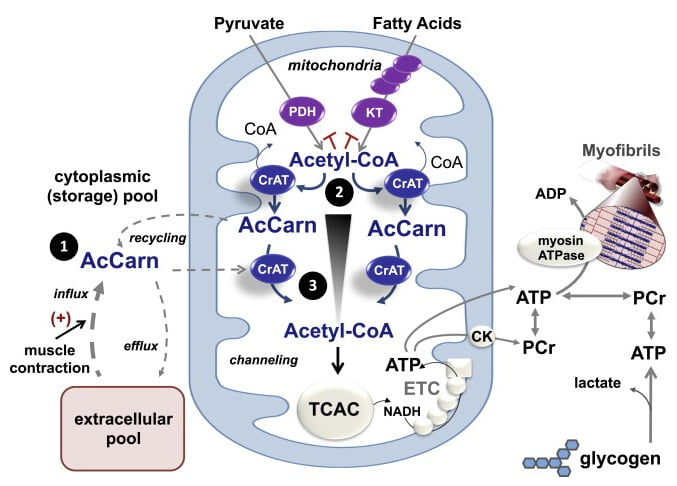 Proposed Role of CrAT in Mitochondrial Acetyl-CoA Buffering and Acetyl Group Transfer during Exercise Acetyl-CoA is the universal catabolic intermediate that fuels the TCAC, which in turn serves as the main source of reducing equivalents (NADH) that support oxidative regeneration of ATP and PCr by the ETC and mitochondrial CK. During transitions from low to high exercise workloads, TCAC flux must increase to keep pace with the high ATP demands of muscle contraction. A shortfall in acetyl-CoA provision will force heavy reliance on substrate-level phosphorylation, resulting in depletion of PCr and muscle glycogen reserves, along with production of lactic acid and other deleterious metabolic byproducts. CrAT functions to sustain high rates of oxidative ATP regeneration via three proposed mechanisms. First, contraction-induced recycling and/or import of acetylcarnitine (AcCarn) supplies a readily available source of acetyl group donors to buffer transient deficits in glucose, amino acid, and fatty acid catabolism. Second, by residing in close proximity to the various enzymatic sources of acetyl-CoA (e.g., PDH and ketothiolase [KT]), CrAT alleviates product inhibition of metabolic enzymes while also regenerating essential cofactor (CoA) necessary for continued catabolic flux. Third, CrAT permits rapid and efficient delivery of acetyl groups from their site of production to the TCAC (blue arrows). Thus, by acting as a conduit for acetyl group transfer, CrAT overcomes the thermodynamic inefficiency of diffusional flux, which requires an energetically unfavorable gradient profile (black triangle).  Carnitine Acetyltransferase Mitigates Metabolic Inertia and Muscle Fatigue during Exercise.  Muoio et al 2015.
