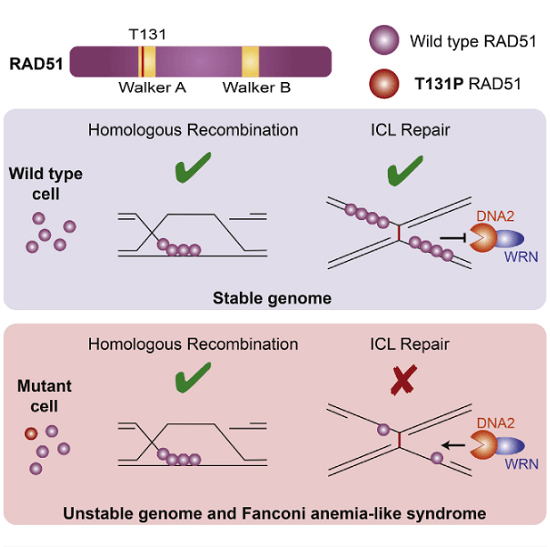 Repair of DNA interstrand crosslinks requires action of multiple DNA repair pathways, including homologous recombination. Here, we report a de novo heterozygous T131P mutation in RAD51/FANCR, the key recombinase essential for homologous recombination, in a patient with Fanconi anemia-like phenotype. In vitro, RAD51-T131P displays DNA-independent ATPase activity, no DNA pairing capacity, and a co-dominant-negative effect on RAD51 recombinase function. However, the patient cells are homologous recombination proficient due to the low ratio of mutant to wild-type RAD51 in cells. Instead, patient cells are sensitive to crosslinking agents and display hyperphosphorylation of Replication Protein A due to increased activity of DNA2 and WRN at the DNA interstrand crosslinks. Thus, proper RAD51 function is important during DNA interstrand crosslink repair outside of homologous recombination. Our study provides a molecular basis for how RAD51 and its associated factors may operate in a homologous recombination-independent manner to maintain genomic integrity.  A Dominant Mutation in Human RAD51 Reveals Its Function in DNA Interstrand Crosslink Repair Independent of Homologous Recombination.  Smogorzewska et al 2015.